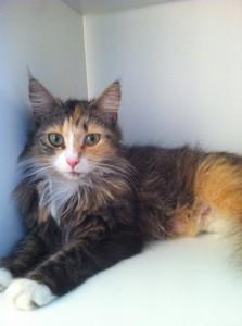 Henny er en spinkel og trivelig liten pus på rundt 2 år. Hun vil gjerne ha et permanent bosted fra september 2013