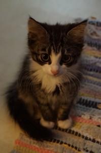 """Månedens katt: """"Hera"""" ønsker seg et trygt hjem fra september 2013. Les mer om henne og de andre kattene under """"Dyrene våre""""."""